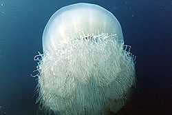 jelly fish
